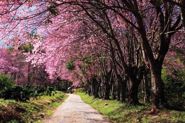 绚烂的樱花盛放