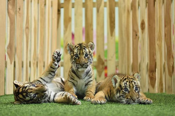 遇见老虎幼崽