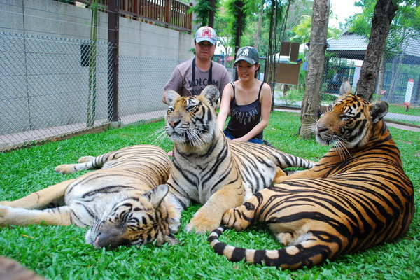Tigers in Chiang Mai