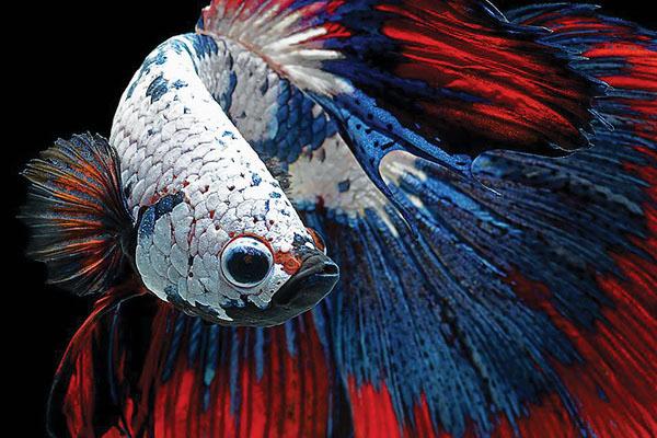令人惊叹的暹罗斗鱼