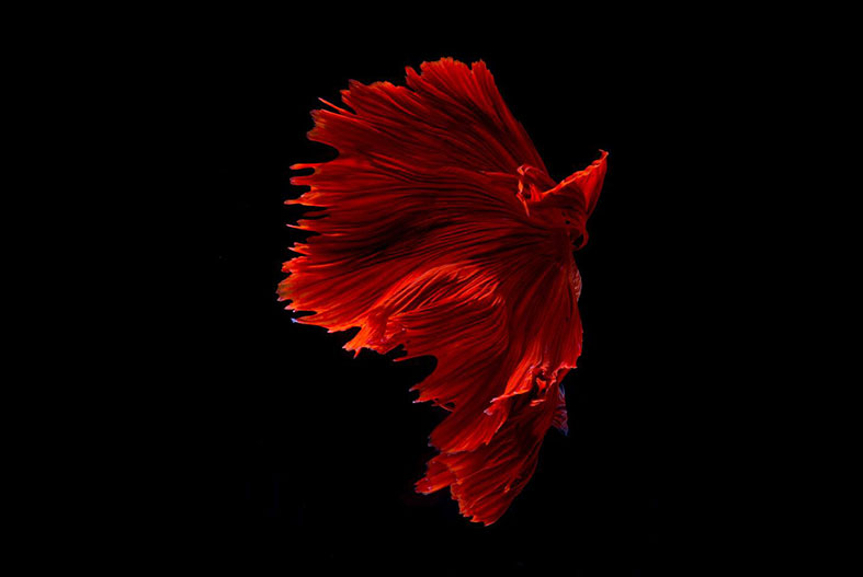 The Stunning Beauty of Siamese Fighting Fish