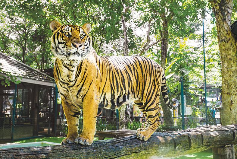 看到伟大的老虎