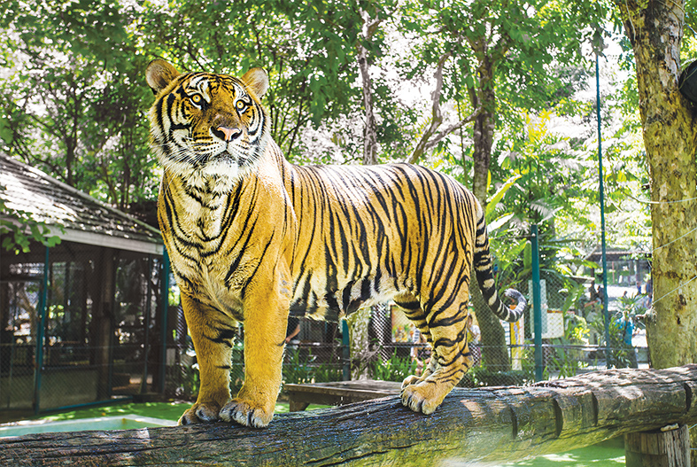 MEET THE GIANT TIGERS